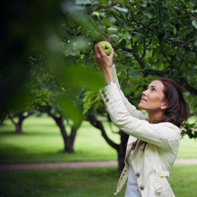 خوردن یک سیب در روز میتواند از ابتلا به بیماریهای قلب و عروق پیشگیری کند